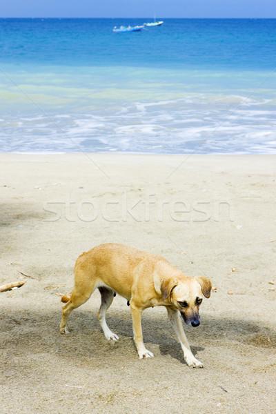 dog on the beach, Duquesne Bay, Grenada Stock photo © phbcz