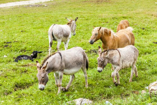 donkeys and horses, Piedmont, Italy Stock photo © phbcz