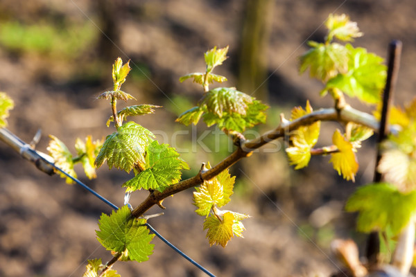 Vid verde agricultura naturales aire libre Foto stock © phbcz