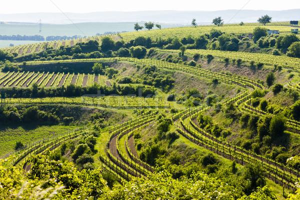view of vineyard Jecmeniste, Znojmo Region, Czech Republic Stock photo © phbcz