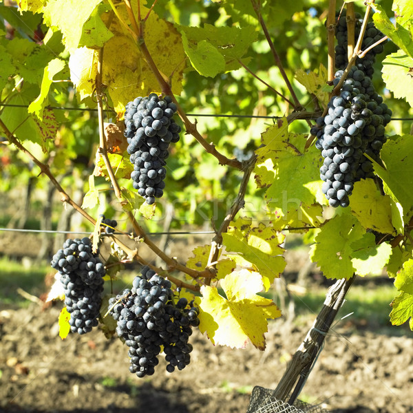 Stock photo: grapevines in vineyard (frankovka), Czech Republic
