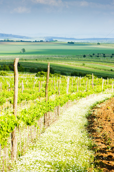 vineyard Nebenfuhr, Lower Austria, Austria Stock photo © phbcz