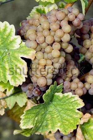 grapevines in vineyard with grasshopper, Czech Republic Stock photo © phbcz
