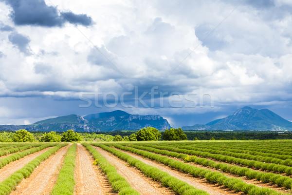 Campo de lavanda meseta Francia paisaje Europa lavanda Foto stock © phbcz