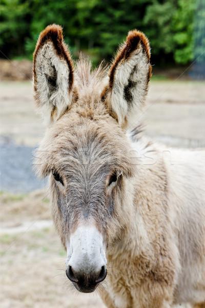 Szamár Spanyolország kint egy emlős vidéki Stock fotó © phbcz