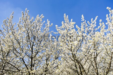 Floraison verger printemps arbre nature extérieur Photo stock © phbcz