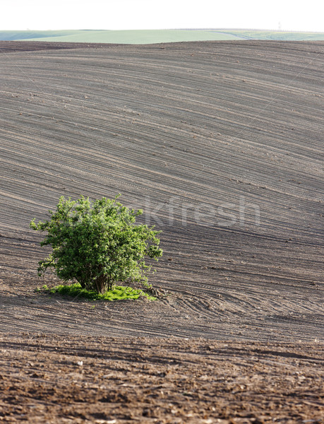 Stock photo: field with a tree in Southern Moravia, Czech Republic