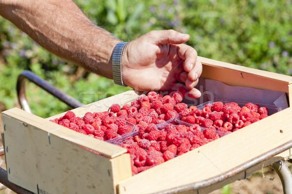 Cosecha frambuesas mano saludable frambuesa aire libre Foto stock © phbcz