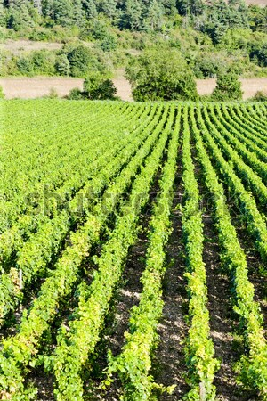 vineyards of Cote de Nuits, Burgundy, France Stock photo © phbcz