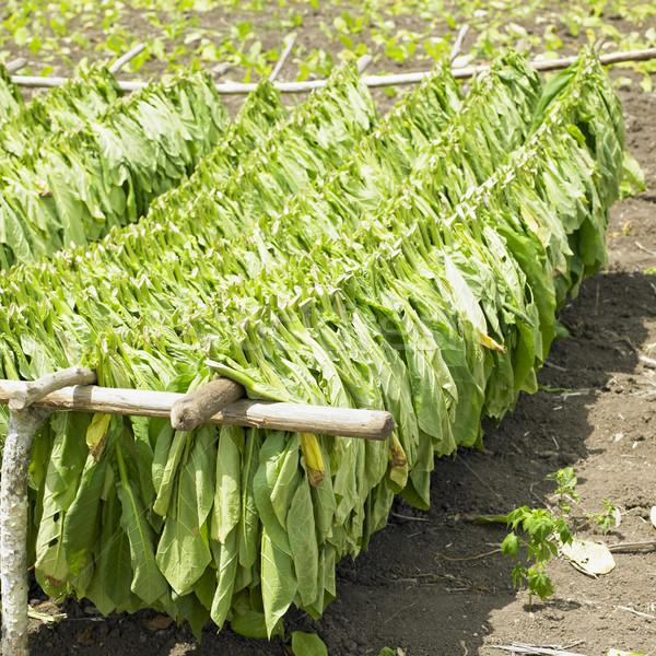 Tabak oogst veld groene bladeren plant Stockfoto © phbcz