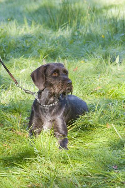 Vadászkutya kutya fű természet állat játék Stock fotó © phbcz