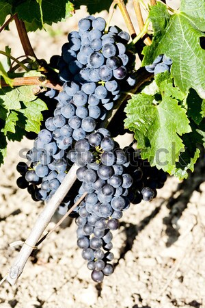 Stock photo: blue grape in Bordeaux Region, Aquitaine, France