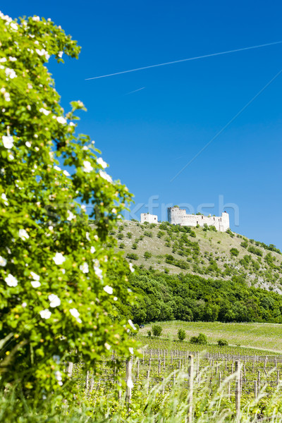 ruins of Devicky Castle with vineyard, Czech Republic Stock photo © phbcz