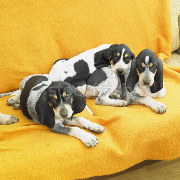 Stock photo: puppies