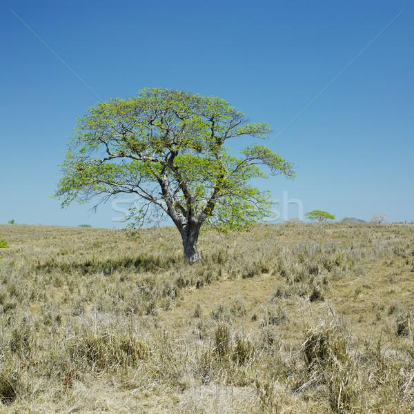 lonely tree, Camaguey Province, Cuba Stock photo © phbcz