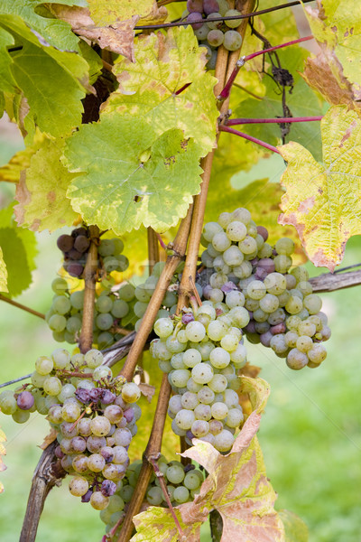 grapes (Weiser Riesling), Germany Stock photo © phbcz