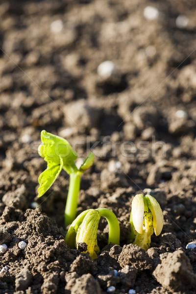 seedling of bean Stock photo © phbcz