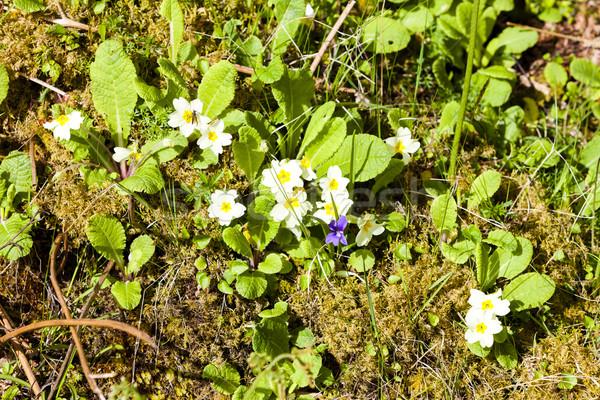 Prímula primavera natureza planta ao ar livre flora Foto stock © phbcz
