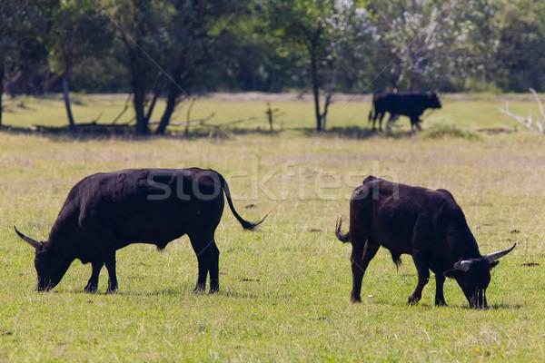 bulls, Parc Regional de Camargue, Provence, France Stock photo © phbcz