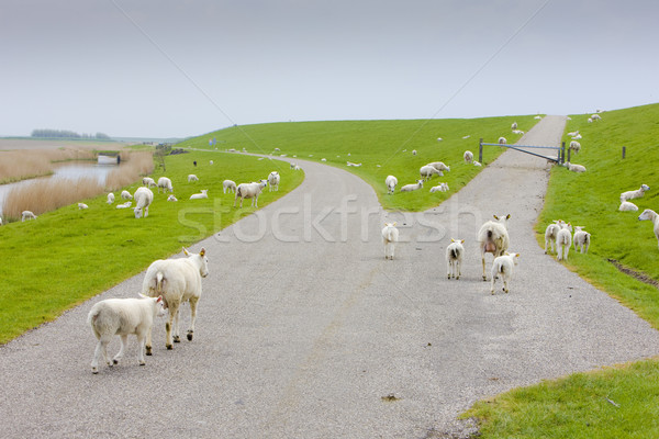 sheep, Friesland, Netherlands Stock photo © phbcz