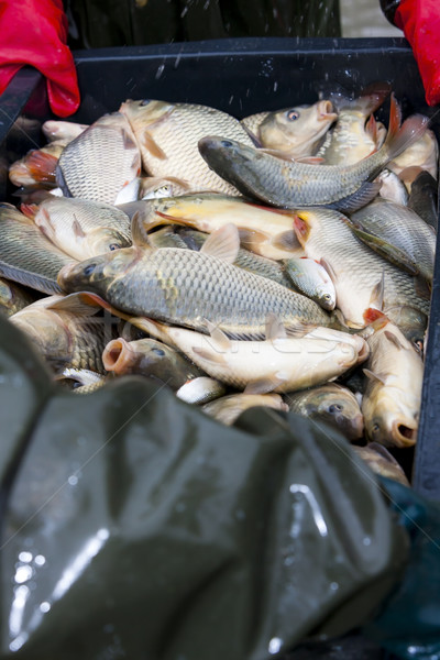 Colheita lagoa pescaria animal pescador luvas Foto stock © phbcz