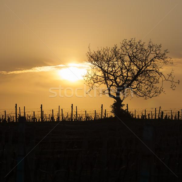 Vigneto albero Repubblica Ceca sole panorama sunrise Foto d'archivio © phbcz