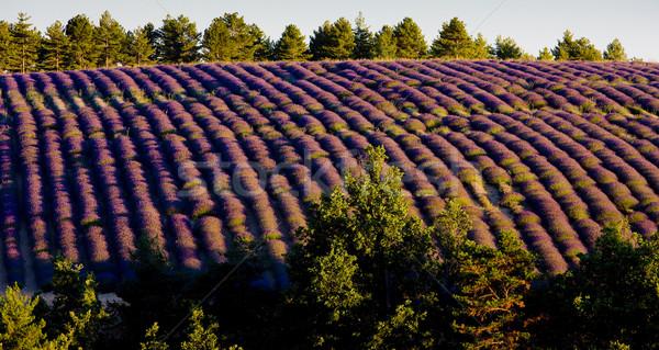 Campo de lavanda planalto França flor árvores campo Foto stock © phbcz