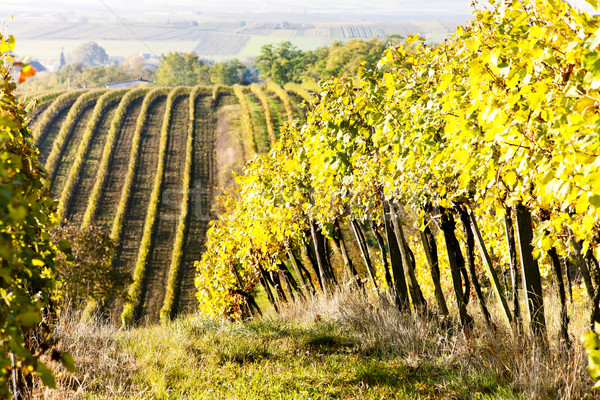 vineyards in autumn, Unterretzbach, Lower Austria, Austria Stock photo © phbcz