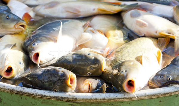 fish in vat during harvesting pond Stock photo © phbcz