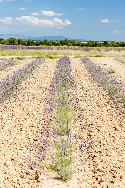 ラベンダー畑 高原 フランス 風景 工場 ヨーロッパ ストックフォト © phbcz