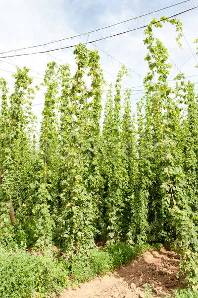 Stock photo: hops garden, Czech Republci