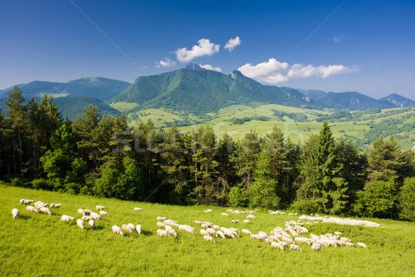 Schapen kudde Slowakije reizen groep bergen Stockfoto © phbcz