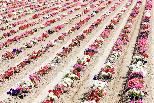 Champ de fleurs France fleur nature rouge rose Photo stock © phbcz