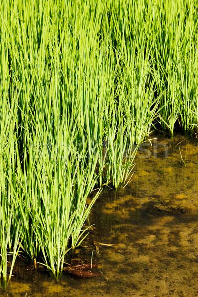 Italia natura sfondo impianto riso Foto d'archivio © phbcz