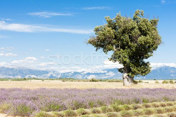 Levendula mező fa fennsík tájkép növény Európa Stock fotó © phbcz