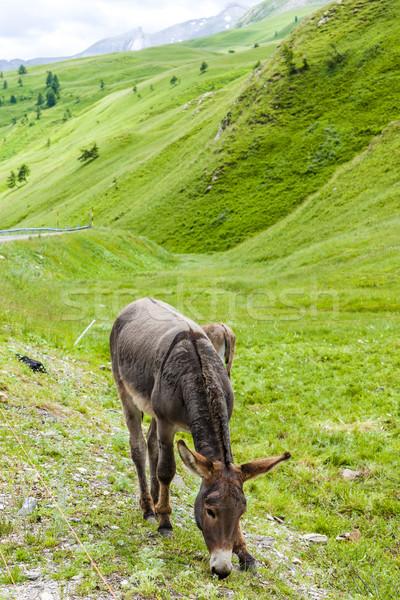 donkey, landscape of Piedmont near French borders, Italy Stock photo © phbcz