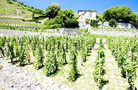 ruins of Falkenstein Castle with vineyard, Lower Austria, Austri Stock photo © phbcz