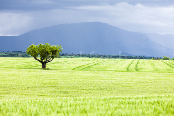 Wiosną dziedzinie drzewo plateau Francja krajobraz Zdjęcia stock © phbcz