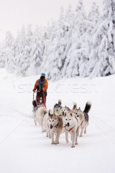 Szánkó hosszú Csehország kutya sport hó Stock fotó © phbcz