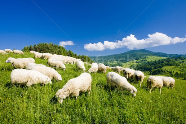 sheep herd, Mala Fatra, Slovakia Stock photo © phbcz