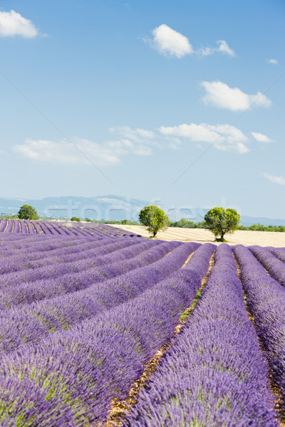 Levendula mező fennsík Franciaország fa tájkép növény Stock fotó © phbcz