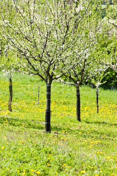 Boomgaard voorjaar boom plant paardebloem Stockfoto © phbcz