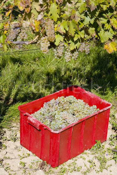 wine harvest, vineyard U svateho Urbana, Czech Republic Stock photo © phbcz