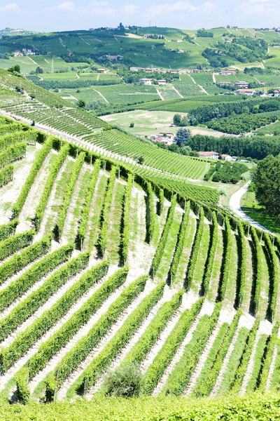 vineyars near Barbaresco, Piedmont, Italy Stock photo © phbcz
