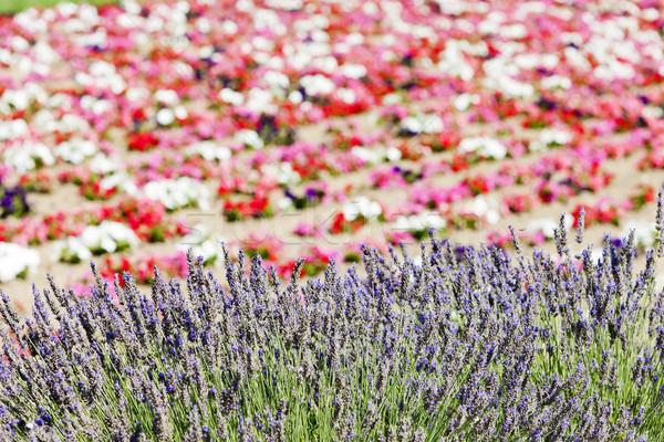 Champ de fleurs France fleur nature fond usine Photo stock © phbcz