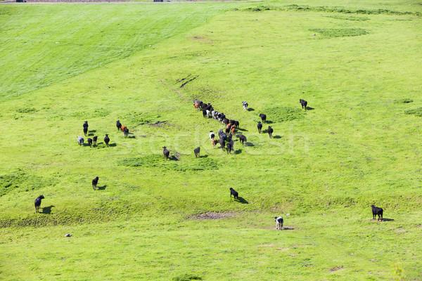 Rebanho vacas inglaterra prado gado ao ar livre Foto stock © phbcz