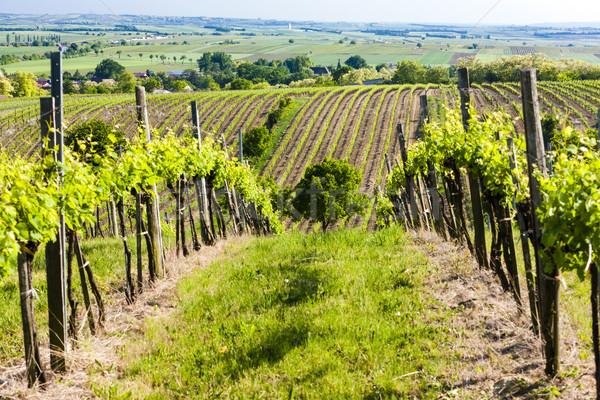 Kilátás szőlőskert alsó Ausztria természet növény Stock fotó © phbcz