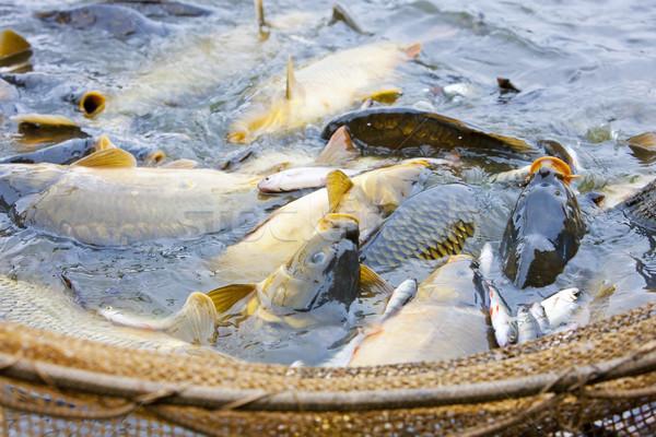 Raccolta stagno animali pesca outdoor Foto d'archivio © phbcz