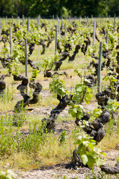 vineyard, Loire Valley, France Stock photo © phbcz