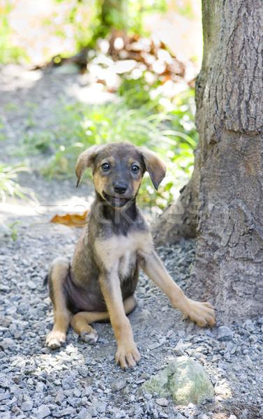 sitting puppy, Tobago Stock photo © phbcz